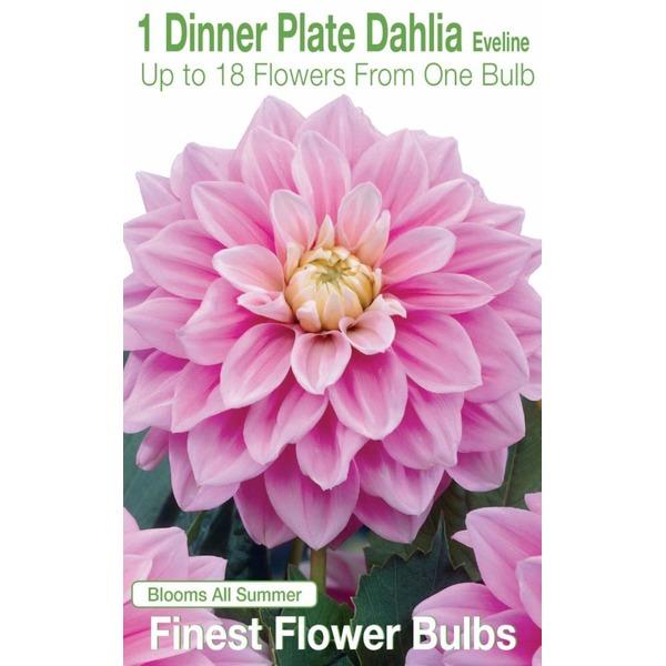 Garden State Bulb Dinner Plate Dahlia Eveline  sc 1 st  Instacart & Garden State Bulb Dinner Plate Dahlia Eveline from Kroger - Instacart