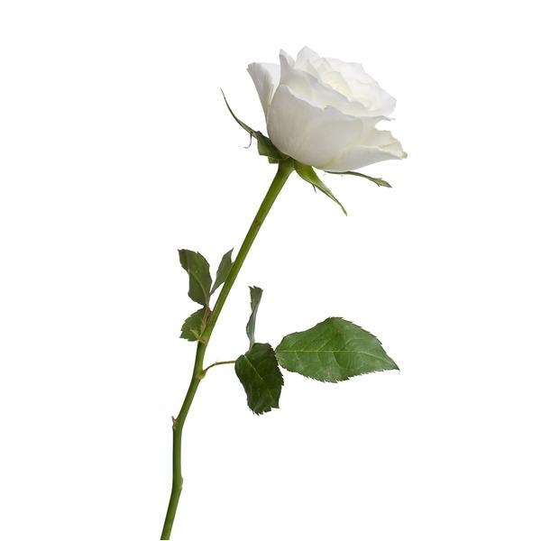 18 Stem White Roses From Tom Thumb Instacart