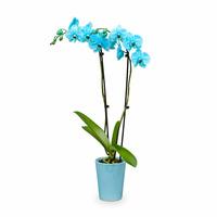 Westerlay Orchids Aquamarine Gemstone Orchid