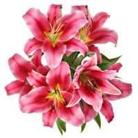 "Rubrum Lily 6"""