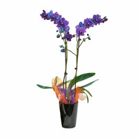 Westerlay Orchids Day of the Dead Orchid Plant