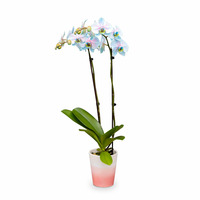 Westerlay Orchids Pink Moonstone Orchid