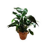 """4"""" Spathiphyllum"""