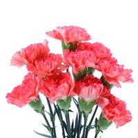 Carnation Dozen