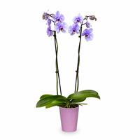 Westerlay Orchids Lilac Amethyst Gemstone Orchid