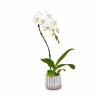 Westerlay Orchids White Cascade Orchid Plant